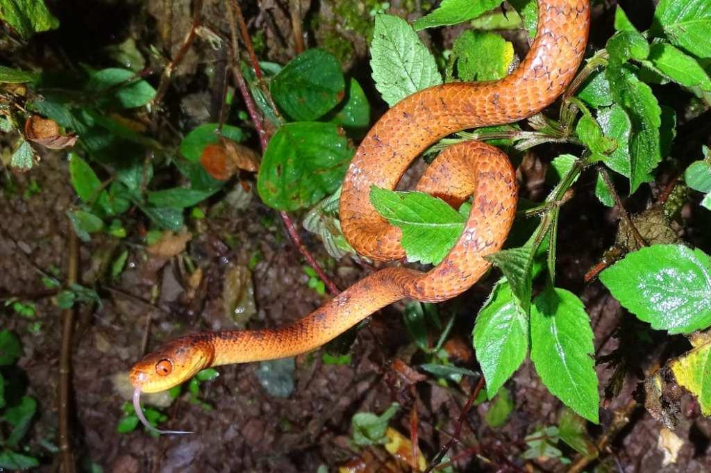 Pareas hamptoni, Hampton's slug-eating snake Phitsanulok Thailand