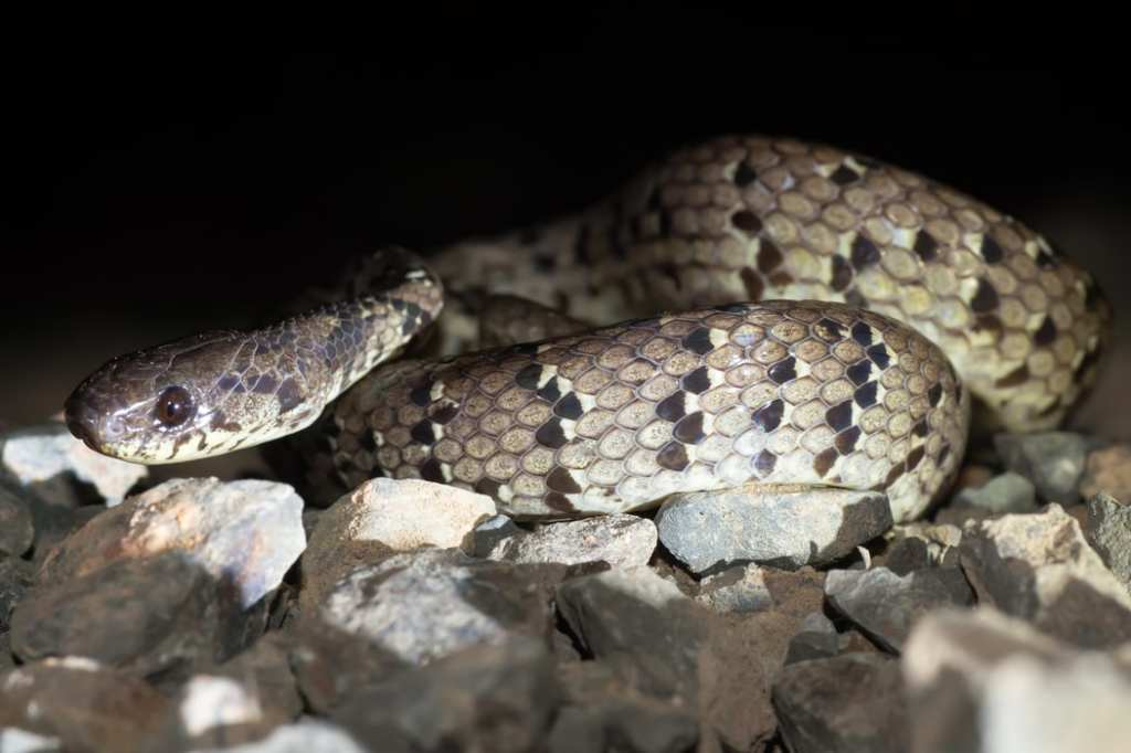 Spotted slug snake Pareas macularius Kaeng Krachan national park thailand
