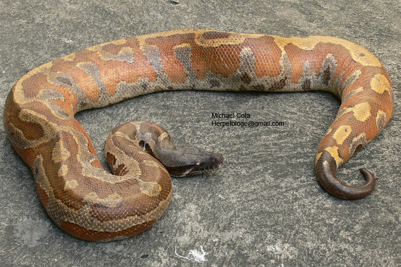 blood python Python brongersmai python curtus thailand