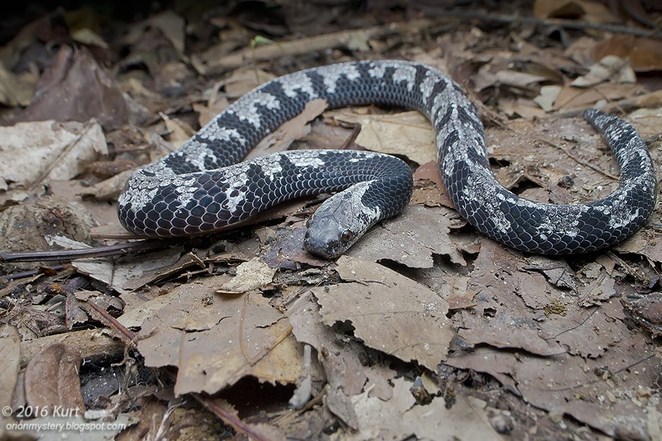 Malayan Slug Snake Asthenodipsas malaccanus malaysia