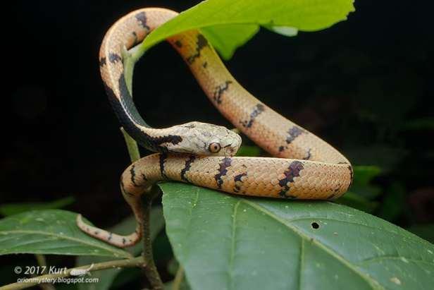 Borneo Slug-eating Snake Asthenodipsas borneensis formerly malaccanus malaysian borneo