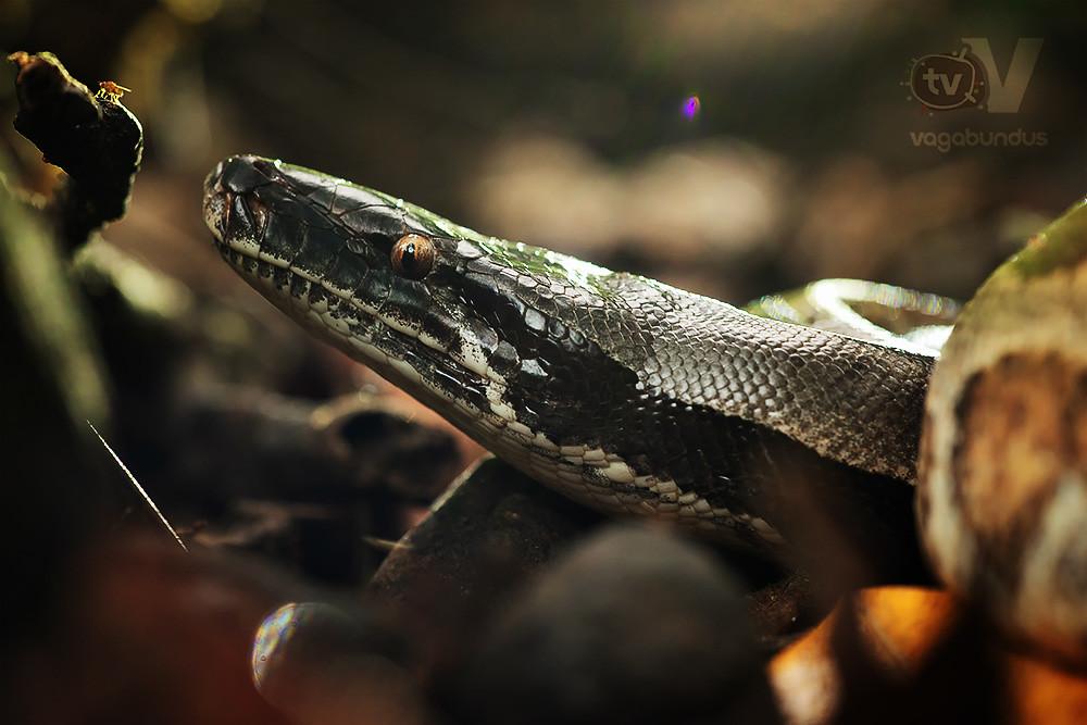 red blood python Python brongersmai python curtus thailand