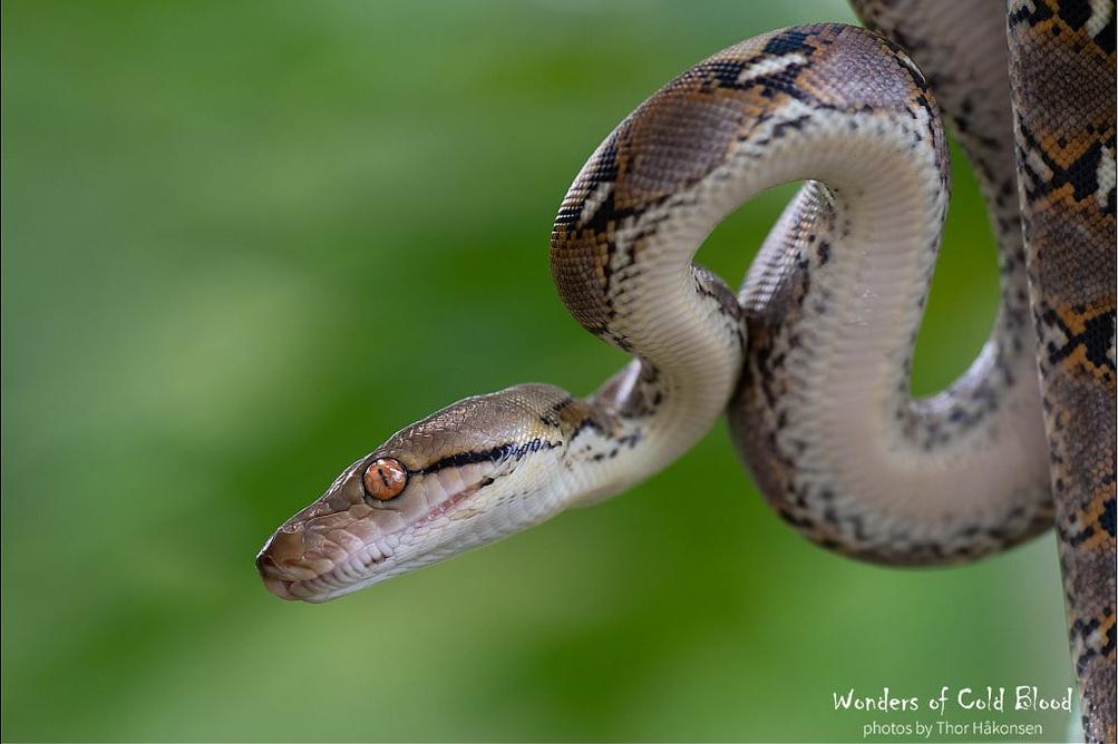 Reticulated Python Malayopython reticulatus pletchaburi thailand