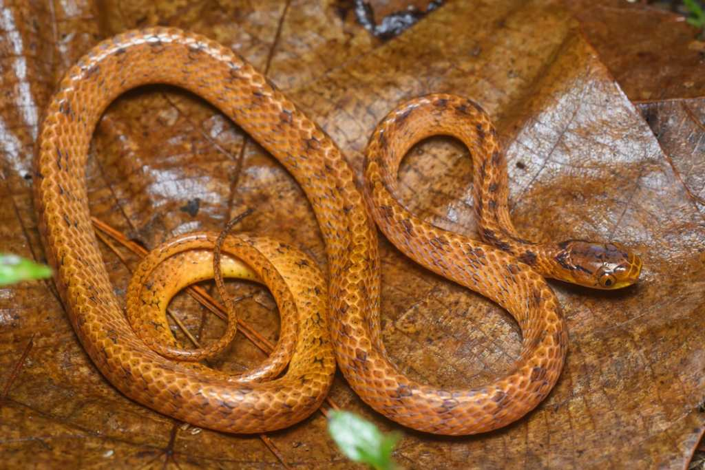 Pareas hamptoni, Hampton's slug-eating snake Phu Suan Sai National Park Thailand