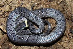 Pareas margaritophorus White-spotted slug snake chiang mai thailand