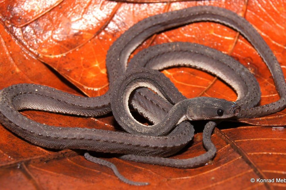 Dragon Snake Javan Tubercle Snake Rough-backed Litter Snake Xenodermus javanicus Malaysia Ngu Tong Kao งูทองขาว