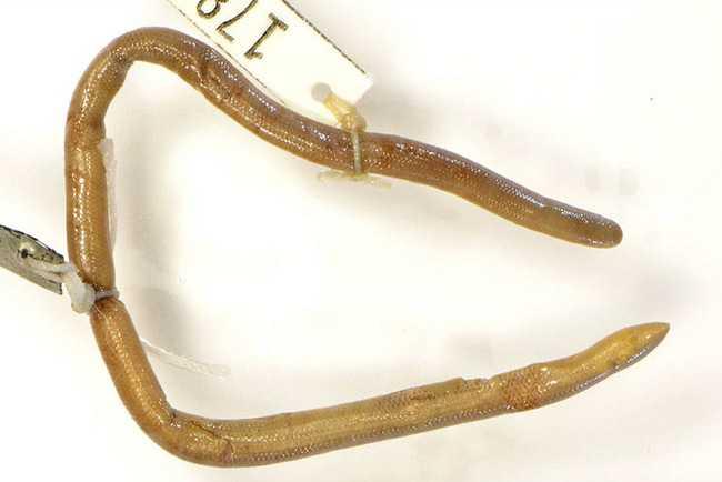 Khorat Blind Snake Typhlops khoratensis Indotyphlops holotype field museum thailand งูดินโคราช Ngu-din Khorat