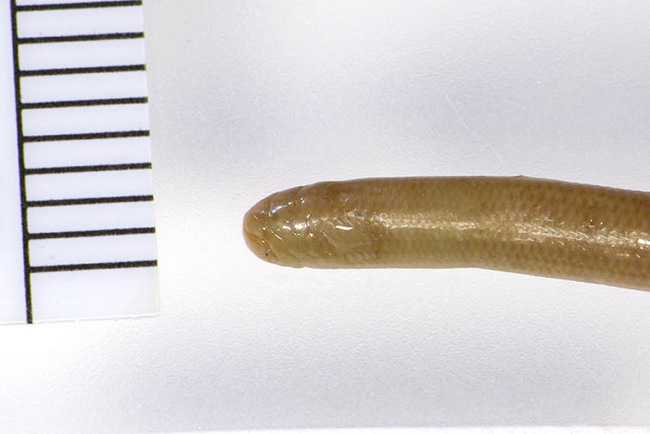 Khorat Blind Snake Typhlops khoratensis Indotyphlops holotype field museum thailand