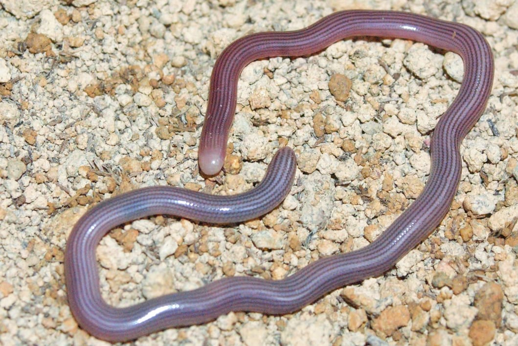 striped blind snake lined blind snake Ramphotyphlops lineatus malaysia