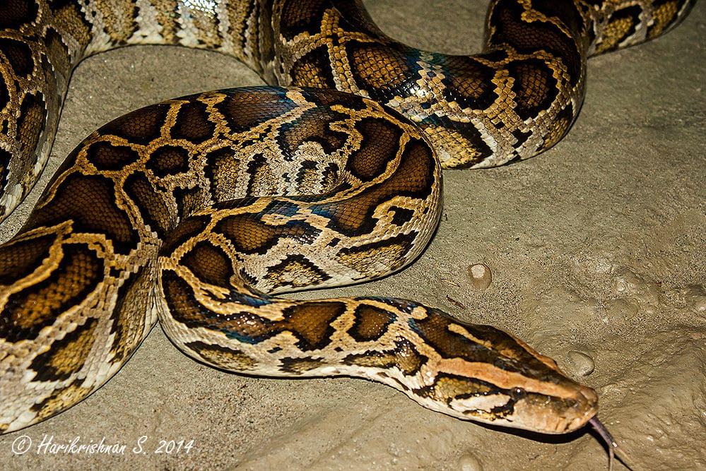Burmese Python Python bivittatus bivittatus assam india