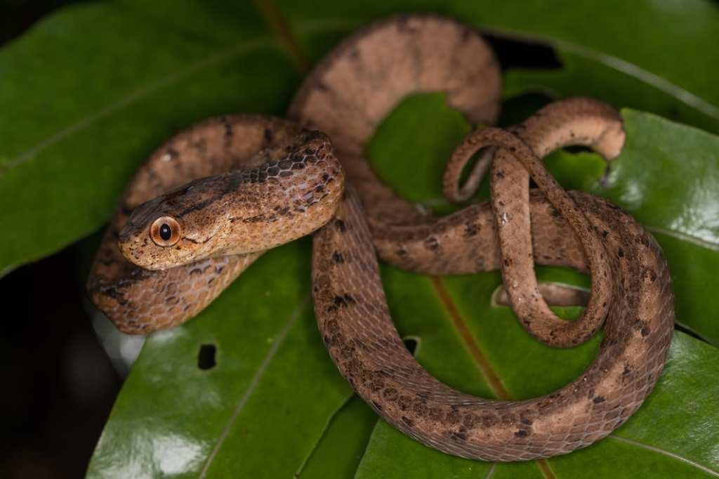 Keeled Slug Snake Pareas carinatus indonesia thailand