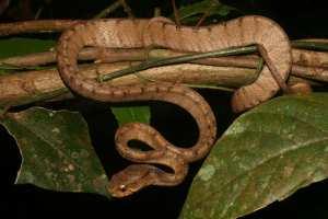 Keeled Slug Snake Pareas carinatus yala thailand