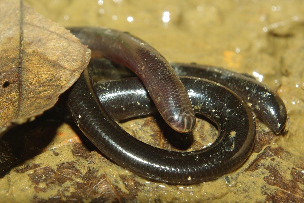 siamese blind snake Typhlops Argyrophis siamensis vietnam งูดินไทย Ngu-din Thai