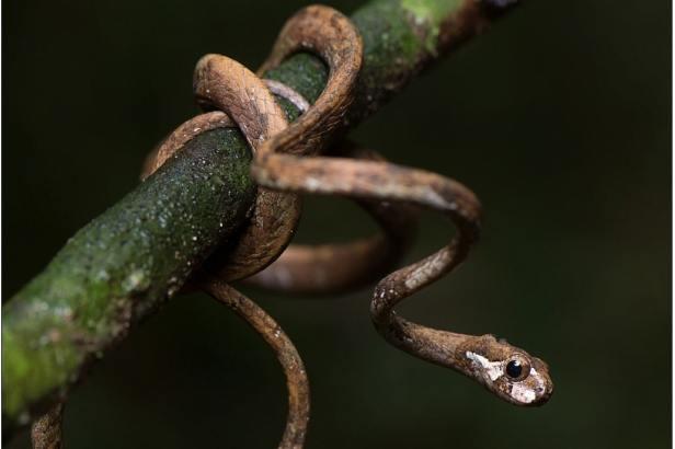 blunthead slug snake blunt-headed slug-eating tree snake aplopeltura boa Khao Sok National Park thailand