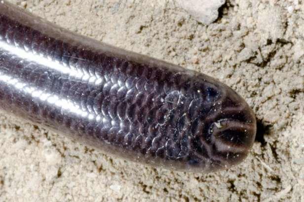 siamese blind snake Typhlops Argyrophis siamensis vietnam cat tien