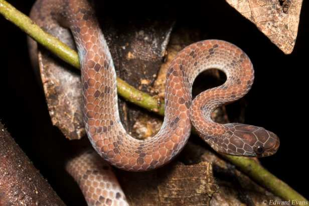 Smooth Slug Snake Asthenodipsas laevis Pareas งูกินทากเกล็ดเรียบ (Ngu Gin Thaag Gled Riab) borneo indonesia