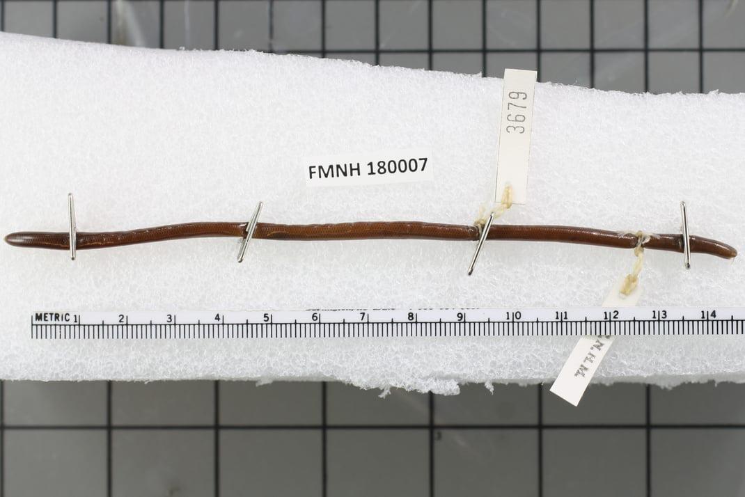 Ozaki's blind snake Indotyphlops ozakiae งูดินปักธงชัย Ngu-din Pak Thong Chai khorat thailand FMNH180007
