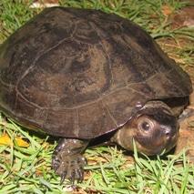 identifying turtles in bangkok thailand