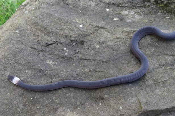 Laotian Bearded Snake Nan Province parafimbrios lao sjon hauser