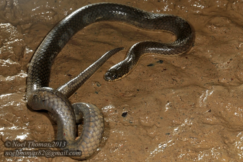 Glossy Marsh Snake Cat-eyed Fishing Snake Gerarda prevostiana งูปลาตาแมว singapore