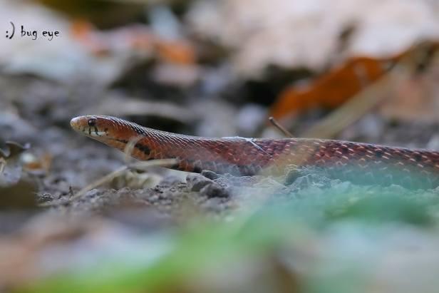 Assam Mountain Snake Burmese Arrowhead Snake Plagiopholis nuchalis thailand chiang mai doi suthep