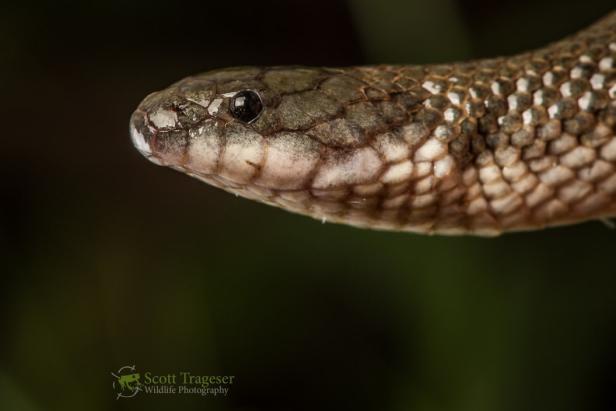 Crab-eating Water Snake White-bellied Mangrove Snake Fordonia leucobalia bangladesh
