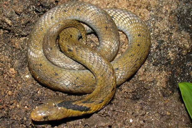 Assam Mountain Snake Burmese Arrowhead Snake Plagiopholis nuchalis thailand