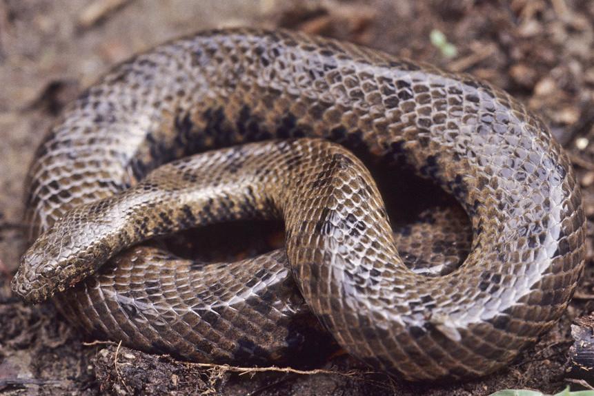Long-tailed Mud Snake Longtailed water snake Enhydris longicauda Tonlé Sap, Cambodia