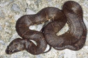 Deuve's Water Snake Homalopsis nigroventralis mekong masked water snake thailand
