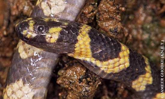 Cantoria violacea middle Andaman Island Sameer Ghodke Cantor's Water Snake Yellow-banded Mangrove Snake