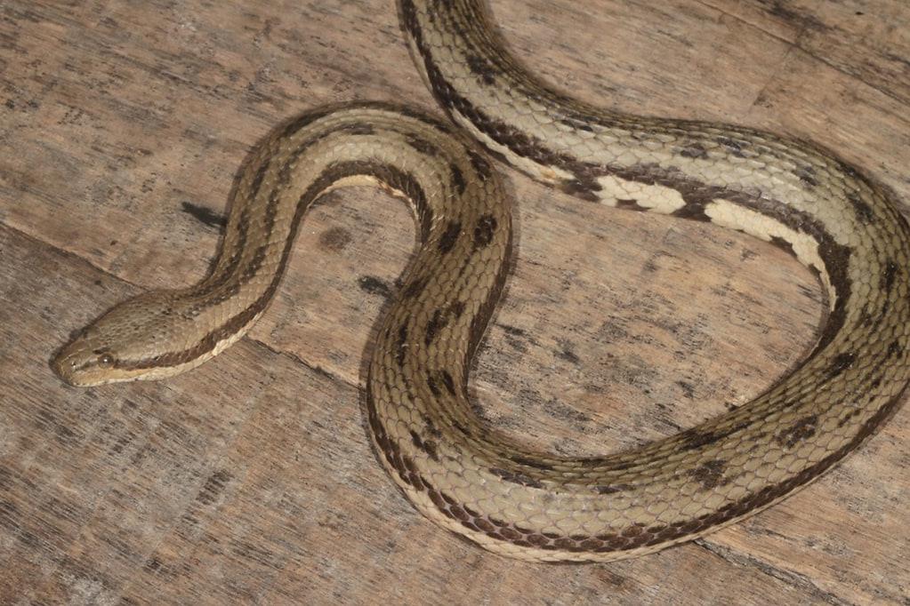 dog-faced water snake south asian bockadam cerberus rynchops bangladesh sundarbans