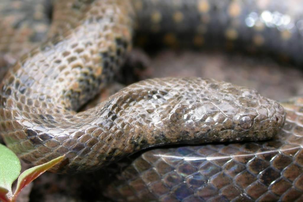 Long-tailed Mud Snake Longtailed Mud Snake Enhydris longicauda Tonlé Sap, Cambodia