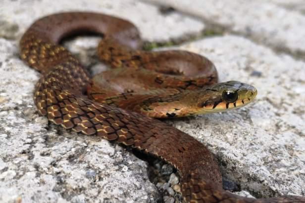 chinese false cobra Big-eyed Bamboo Snake large-eyed Pseudoxenodon macrops china