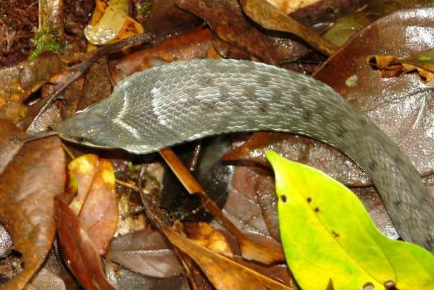 chinese false cobra Big-eyed Bamboo Snake large-eyed Pseudoxenodon macrops vietnam