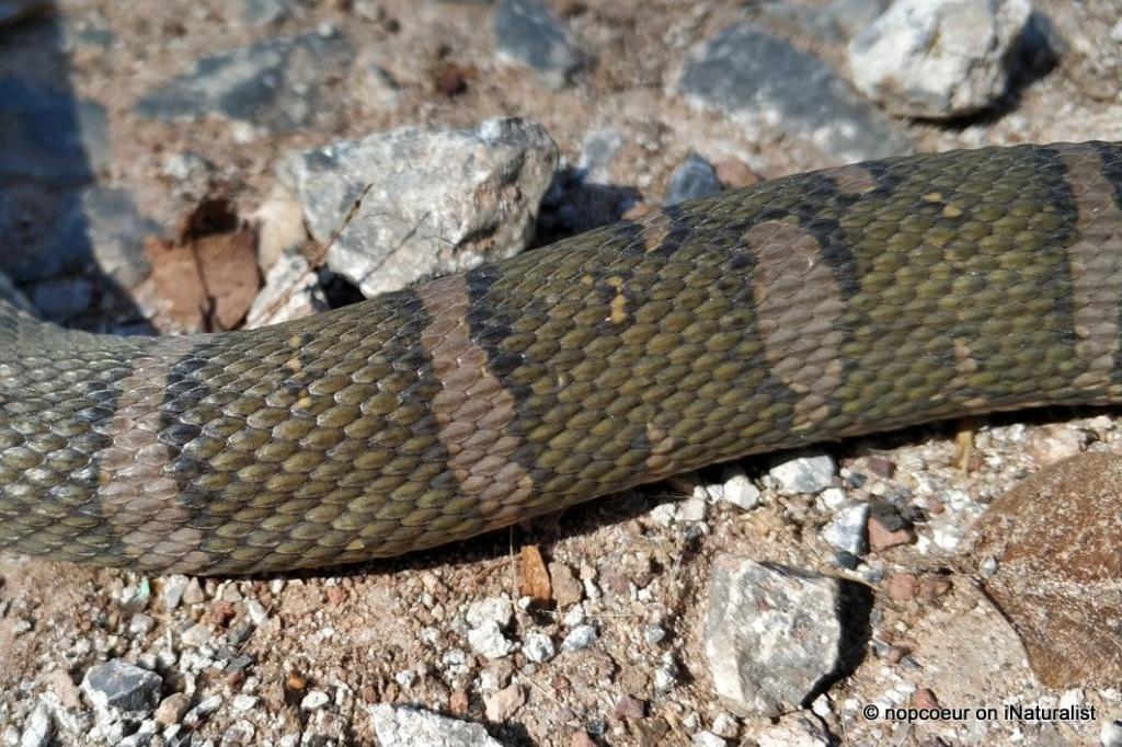 Deuve's Water Snake Homalopsis nigroventralis mekong masked water snake thailand udon thani