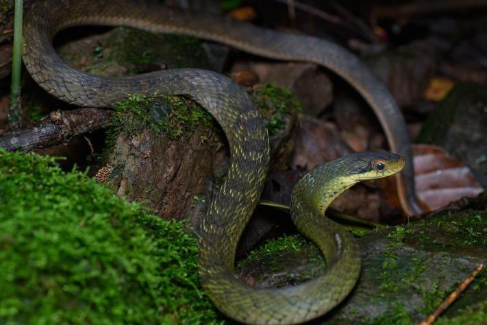 chinese false cobra Big-eyed Bamboo Snake large- eyed Pseudoxenodon macrops