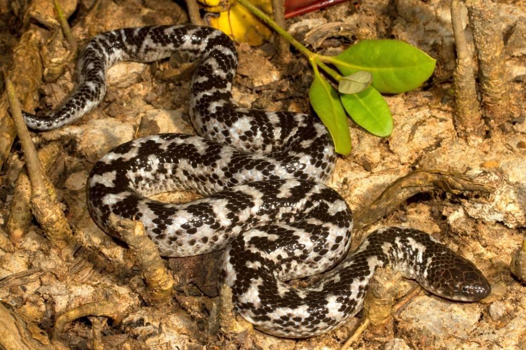 Crab-eating Water Snake White-bellied Mangrove Snake Fordonia leucobalia Australia black white silver