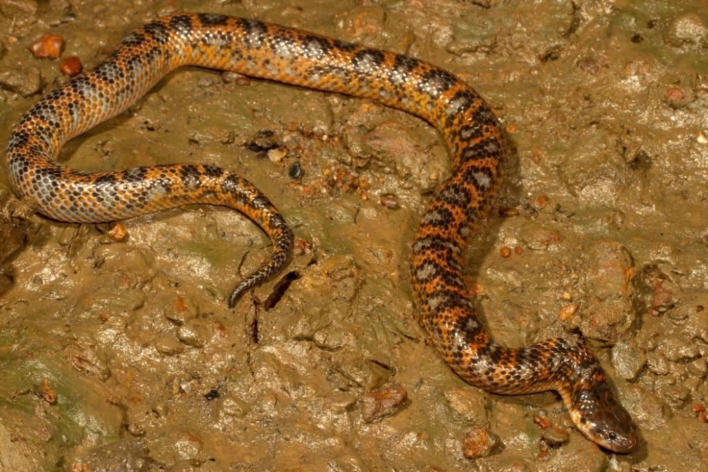 Crab-eating Water Snake White-bellied Mangrove Snake Fordonia leucobalia Australia orange black silver grey