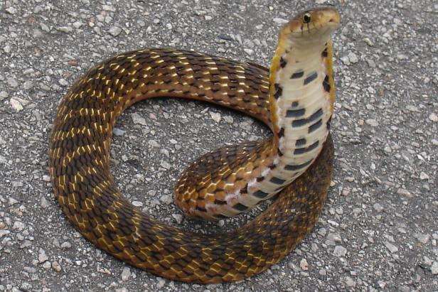 Assam Mountain Snake Burmese Arrowhead Snake false cobra Plagiopholis nuchalis thailand chiang mai