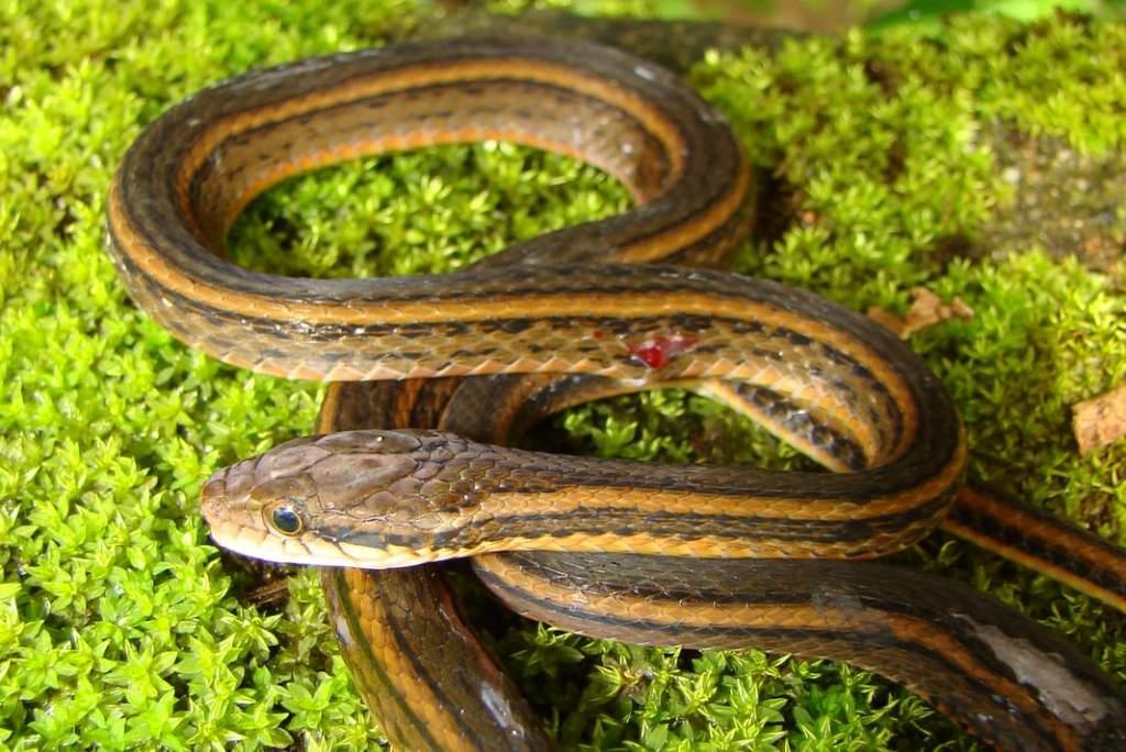 Two-striped Keelback Kutkai Keelback amphiesma Hebius bitaeniatum งูแบมบ้า thailand doi inthanon chiang mai