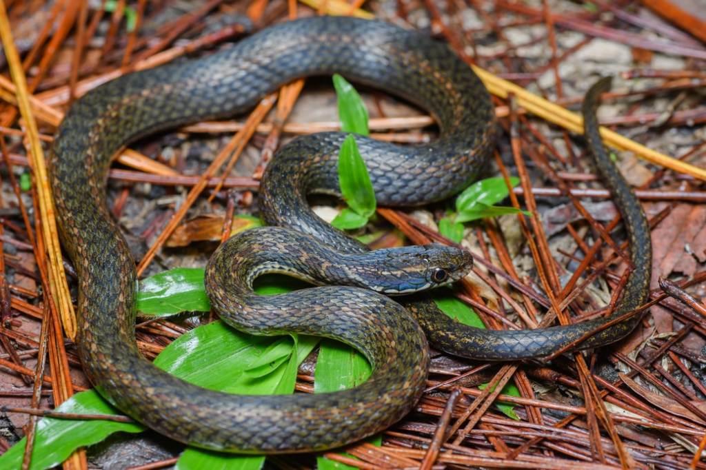 Khasi Hills Keelback Hebius khasiense Amphiesma khasiense งูลายสาบภูเขาสีน้ำตาล งูลายสาบภูเขาอินเดีย Doi Phu Kha National Park thailand