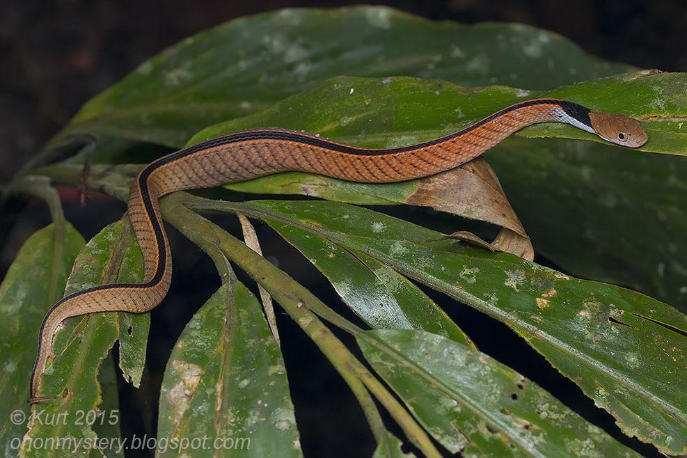 Blue-necked Keelback Blueneck Keelback Water Snake Rhabdophis rhodomelas Macropisthodon งูรังแหหลังศร