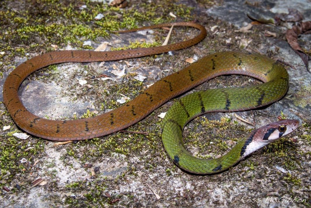 Green Black-banded Keelback Black-striped Rhabdophis nigrocinctus thailand khao yai