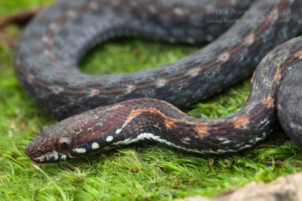 Malayan Mountain Keelback Gunung Hebius inas Amphiesma งูลายสาบมลายู