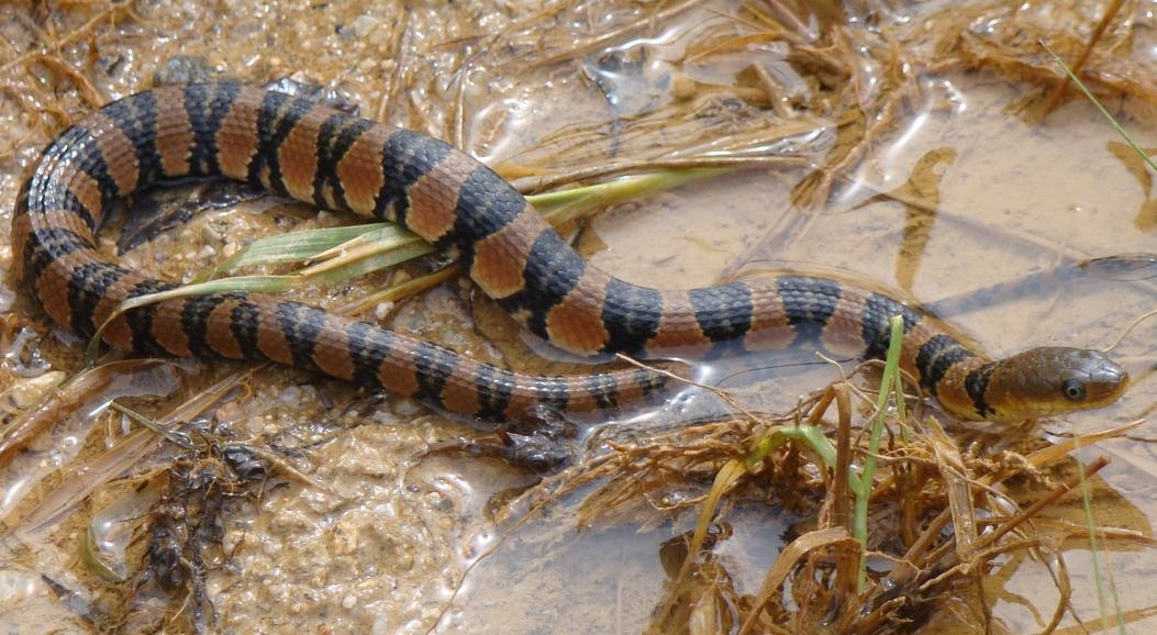 Yunnan Water Snake Keelback Sinonatrix yunnanensis งูลายสอจีนลายวงแหวน Lampang Thailand
