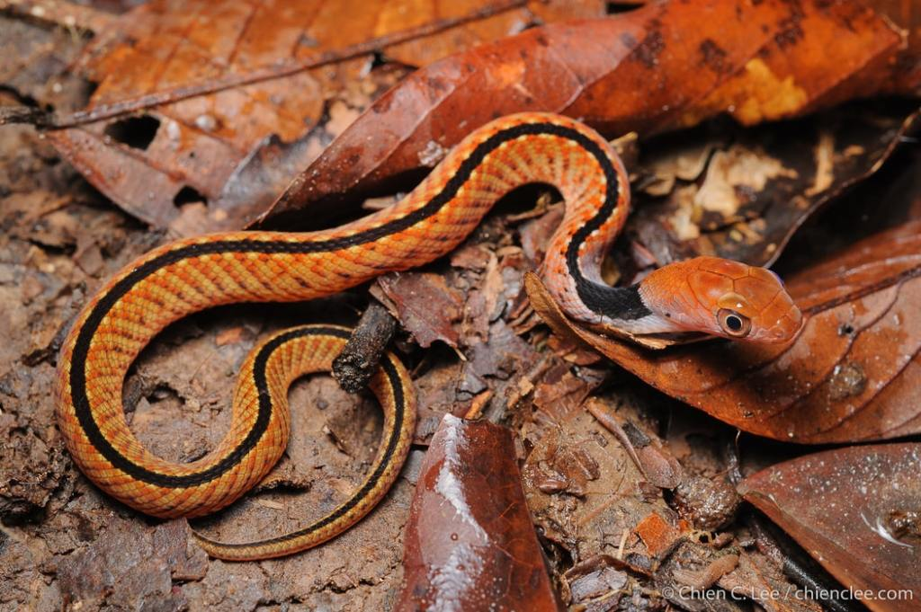 Blue-necked Keelback Blueneck Keelback Water Snake Rhabdophis rhodomelas Macropisthodon งูรังแหหลังศร malaysia