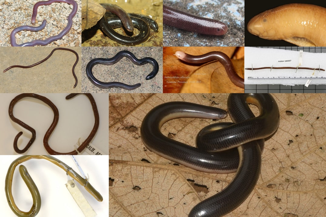 identifying blind snakes in thailand typhlops Typhlopidae