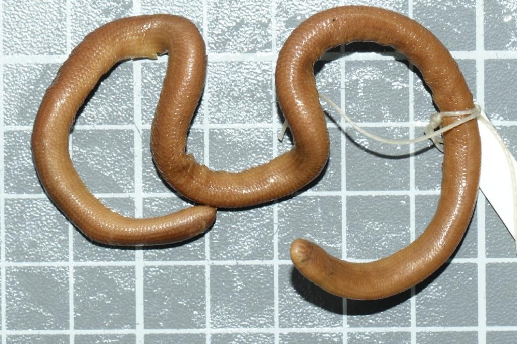 siamese blind snake Typhlops Argyrophis siamensis siam thailand