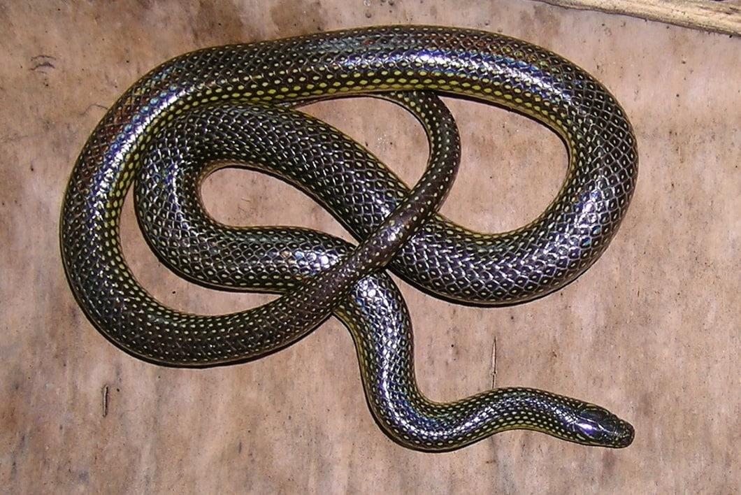 Yellow-spotted Mountain Stream Snake Keelback Opisthotropis maculosa งูลายสอจุดเหลือง thailand Nong Khai