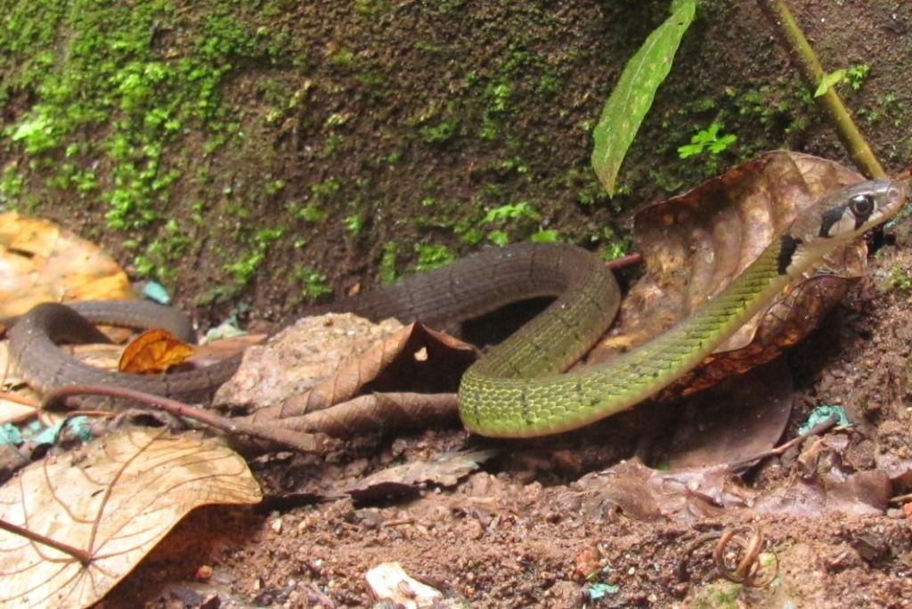Green Black-banded Keelback Black-striped Rhabdophis nigrocinctus thailand doi suthep chiang mai